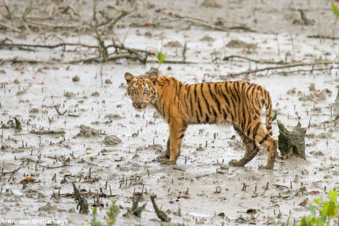 Plans are underway to build a coal-fired plant inside the Sundarbans mangrove forest, home to tigers like this cub. Tiger Cub   Sunderban Tiger Reserve by Arindam Bhattacharya. CC BY-NC-SA 2.0